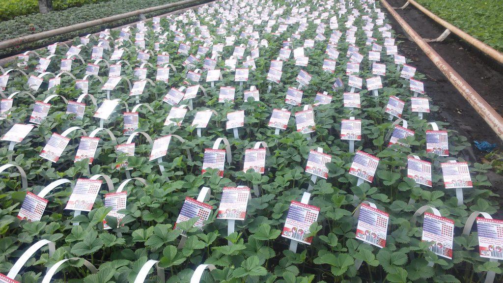 ErdbeerPflanzen Preis