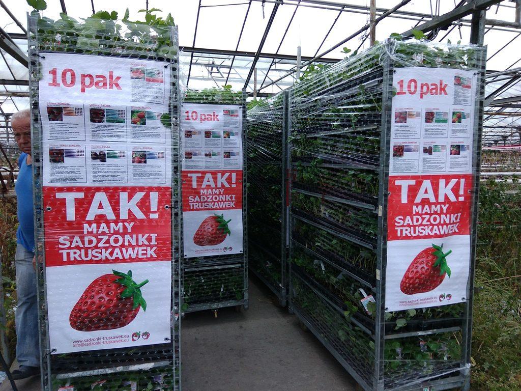 Erdbeerpflanzen Sorten