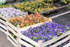 Gartenveilchen