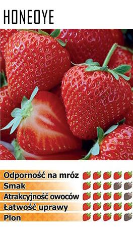 erdbeerpflanzen honeoye