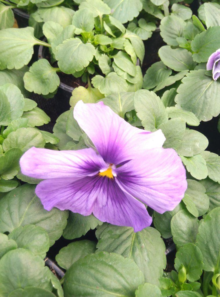 kwiat cena fiołki ogrodowe