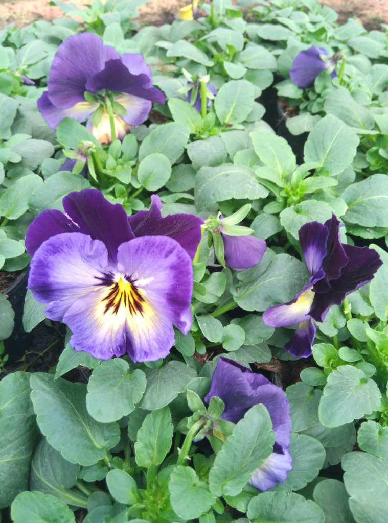 bratki kwiat