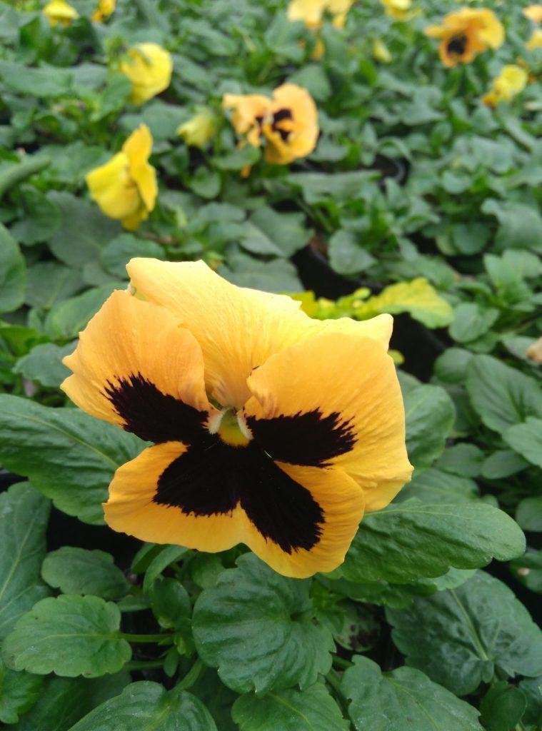 bratek kwiat
